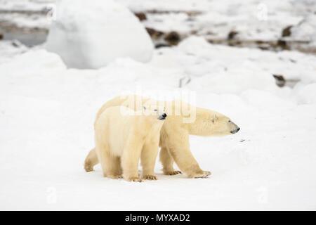 Eisbär (Ursus maritimus) Jährling Jungen mit der Mutter in der Nähe, Wapusk National Park, Cape Churchill, Manitoba, Kanada - Stockfoto