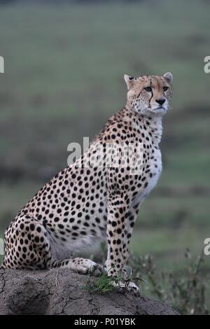 Einsame cheetah sitzen auf die grüne Masai Mara Savannah auf der Suche nach Beute. Bild am frühen Morgen genommen, Olare Motorogi Conservancy. Acinonyx jubatus - Stockfoto