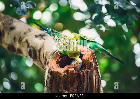 Wellensittiche sitzen im Nest, Melopsittacus undulatus - Stockfoto