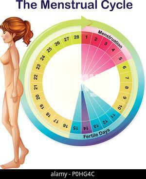 Ein Vektor des Menstruationszyklus Abbildung - Stockfoto