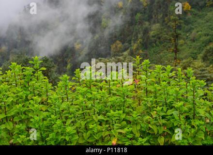 Minze Pflanzen wachsen im Gemüsegarten mit Foggy Mountain Hintergrund. - Stockfoto