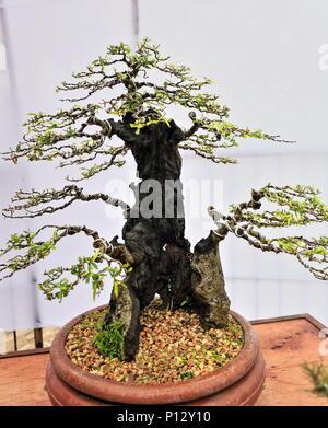 Bonsai pflanzen oder 39 fach 39 japanische kunst container for Kleine fliegen in den pflanzen