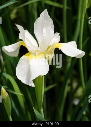 """Gelbe throated weiße Blume Der winterharte Staude Sibirische Iris Iris pumila 'White Swirl"""", Blüte im Frühsommer - Stockfoto"""