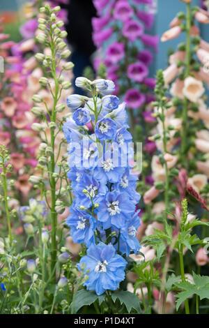 Rittersporn magic fountains Himmelblau weiß Biene auf einer Anzeige an eine Blume zeigen. Großbritannien - Stockfoto