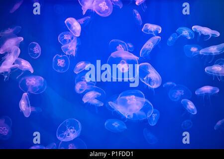 Marine Aquarium mit Quallen mit blauer Hintergrundbeleuchtung gefüllt. - Stockfoto