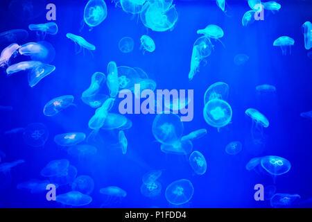 Ohrenquallen oder Aurelia aurita in blauem Licht, Quallen Hintergrund. - Stockfoto