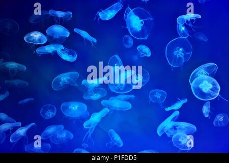 Ohrenquallen oder Aurelia aurita in Marine Aquarium mit blauer Hintergrundbeleuchtung, Quallen Hintergrund. - Stockfoto