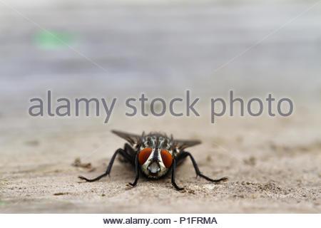 Stubenfliege - Stockfoto