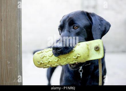 Ein schwarzer Labrador. Der Hund ist mit einem gelben gundog Dummy. - Stockfoto