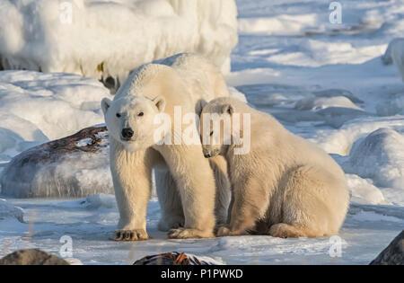 Mutter und cub Eisbären (Ursus maritimus) im Schnee; Churchill, Manitoba, Kanada - Stockfoto
