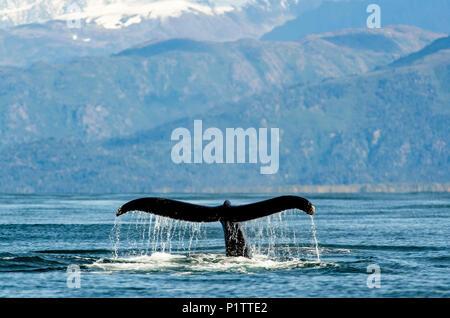 Buckelwale (Megaptera novaeangliae) Fluke entlang der Küste von Kachemak Bucht; Homer, Alaska, Vereinigte Staaten von Amerika - Stockfoto