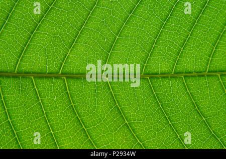 Makro des grünen Blätter Textur und Struktur des Blattes Faser, Hintergrund Textur von Detail der grünen Blatt. - Stockfoto