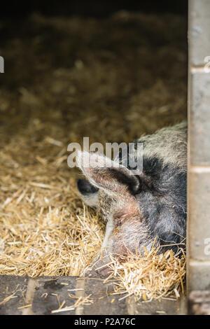 hausschwein schlafen im heu stockfoto bild 43180057 alamy. Black Bedroom Furniture Sets. Home Design Ideas