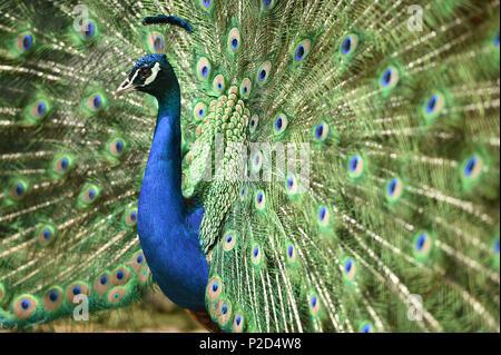 Duran der Pfau zeigt seine Federn auf die weibliche peahens - Stockfoto
