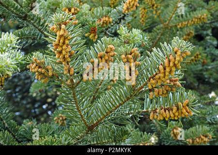 Zweige der Tanne mit Einhäusig männliche Blüten - Stockfoto