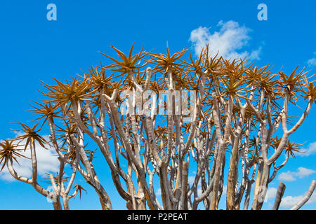 Köcherbäume in der Kalahari Wüste, Karas Region, Namibia - Stockfoto