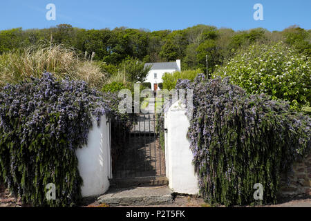 Nachgestellte Rosmarin grasartige Pflanze wächst auf einem Garten Wand von Iron Gate außerhalb einer traditionellen walisischen Cottage in Dale, Pembrokeshire Wales UK KATHY DEWITT - Stockfoto