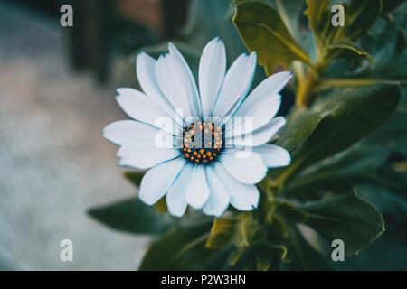 Nahaufnahme eines isolierten weiße Blume von osteospermum Ecklonis in der Natur - Stockfoto