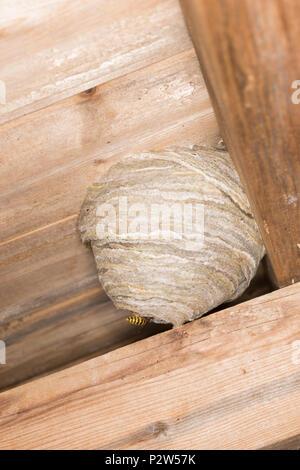 Ganz und zu Extrem Ein Wespennest, in das Dach einer alten hölzernen Gartenhäuschen &OV_74