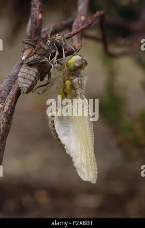 Vier - spotted Chaser, Libellula quadrimaculata, Flügel fast vollständig ausgefahren nach Entstehung - Stockfoto