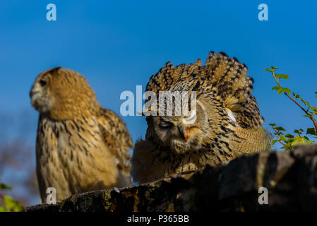 Uhu (Bubo bubo) sitzen auf dem Baumstumpf, Nahaufnahme, Wildlife photo - Stockfoto