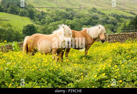 Shetland Ponys, zwei Palomino Shetland Ponys stand in hellen gelben buttercup Meadow, vorwärts gerichtet, die in den Yorkshire Dales, UK, England. Landschaft - Stockfoto