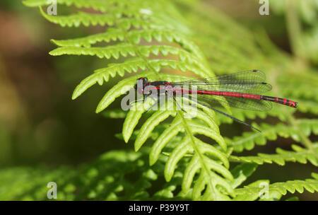 Eine beeindruckende Große Rote Damselfly (Pyrrhosoma nymphula) auf Bracken. - Stockfoto