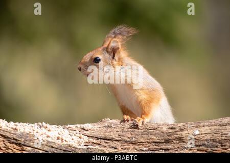 Eichhörnchen (Sciurus vulgaris) sitzt auf einem Ast in Kuhmo, Finnland, 2018. © Jason Richardson - Stockfoto