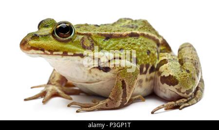 Gemeinsamen europäischen Frosch oder essbare Frosch, Rana Esculenta, vor weißem Hintergrund - Stockfoto