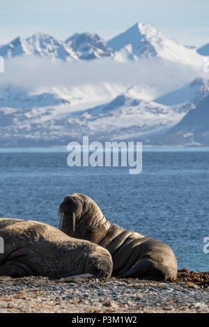 Norwegen, Svalbard, Spitzbergen, Isfjord, Poolepynten. Atlantischen Walross (Odobenus rosmarus rosmarus) Coastal haul Out. - Stockfoto