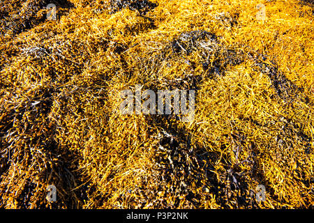 Die umfangreiche goldene Algen Banken auf Loch Sunart in den Highlands von Schottland - Stockfoto