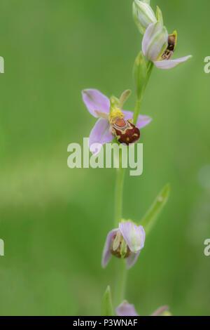Eine wild wachsende Bienen-ragwurz in Unter dem Gras in Gloucester - Stockfoto
