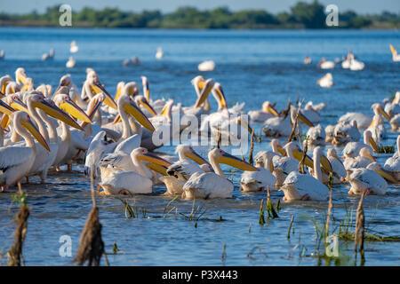 Eine Kolonie von Großen weißen Pelikane (Pelecanidae) und Krauskopfpelikane (Pelecanus crispus) im Donaudelta, Rumänien - Stockfoto