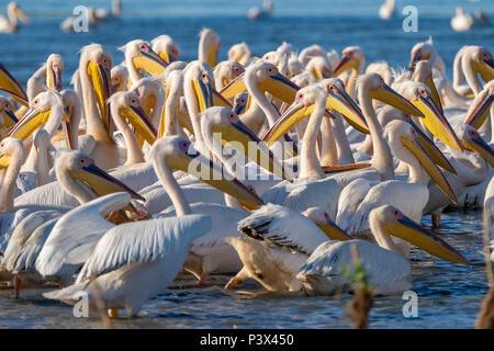 Die gemeinsame Pelican Kolonie bei Fortuna See im Donaudelta, Rumänien - Stockfoto