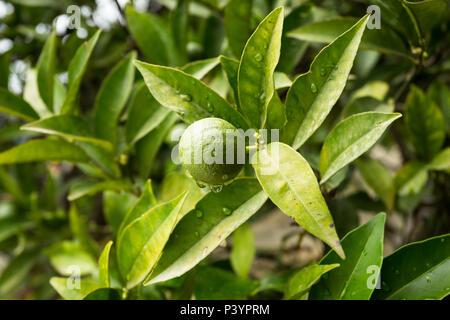 Single einsame kleine runde grüne Rutaceae Kalk Früchte wachsen auf Bäumen tropfte mit Wassertropfen nach Regenfällen in Garten in Herceg Novi, Montenegro - Stockfoto