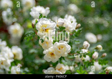 Weiß blühende rose Blumen mit speziellen Blase bokeh. - Stockfoto