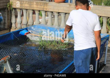 Criança alimentando tilápia peixes e Saint Peter em criação caseira em Residência localizada em Cajamar. - Stockfoto