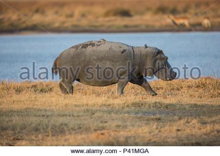Ein Nilpferd in den Feuchtgebieten des Botswana Moremi Game Reserve. - Stockfoto