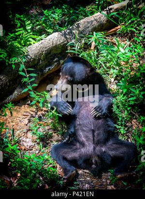 Sun Bear (Helarctos malayanus) lag auf dem Rücken im Regenwald am Bornesischen Sun Bear Conservation Centre in Sepilok, Sandakan, Borneo, Malaysia - Stockfoto