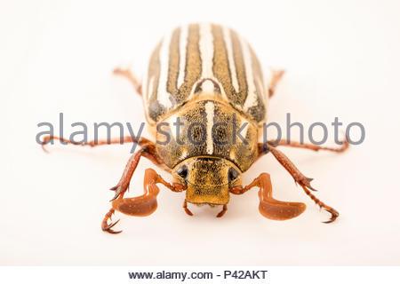 10 gesäumten Juni Käfer, Polyphylla deremlineata, im Cedar Point Biologische Station. - Stockfoto