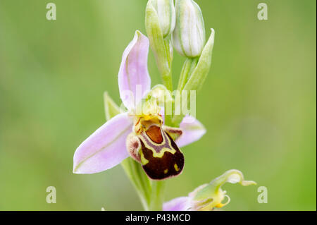 Ein eingeborener Bienen-ragwurz (Ophrys apifera) wild wachsen in Großbritannien - Stockfoto