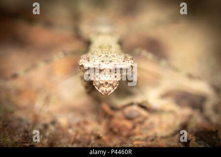 Humbertiella sp. Mantis, AKA Rinde Mantis. - Stockfoto