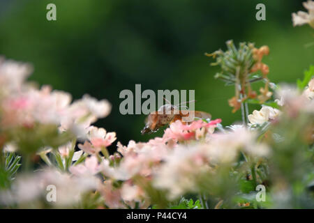 kolibri hawkmoth macroglossum stellatarum saugen nektar. Black Bedroom Furniture Sets. Home Design Ideas