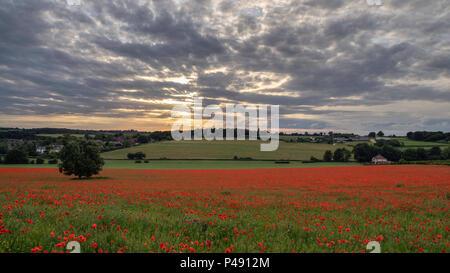 Ein Teppich aus roten Mohnblumen auf einem Feld bei Sonnenuntergang in der Nähe von Dane End, Hertfordshire, England - Stockfoto