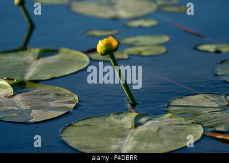Kleine gelbe Lotus schwimmend auf blauem Wasser in das Donau Delta, Europa - Stockfoto