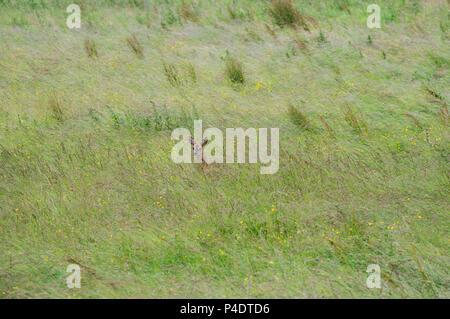 Ein wilder Rehe doe zu Fuß durch ein Feld von butterblumen, in Richtung Kamera schaut - Stockfoto