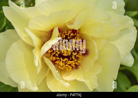Gelbe Pfingstrose Kopf mit Staubgefäßen, Nahaufnahme, Sonoma Sun, Pfingstrose Hybrid - Stockfoto