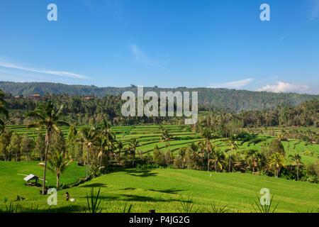 Munduk, Bali. Durch dichten Dschungel Vegetation auf allen Seiten sind hell grünen Terrassen Reis zu pflegen - Stockfoto