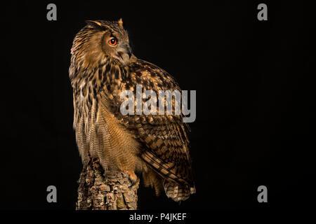 Eurasische Adler-Eule - Stockfoto