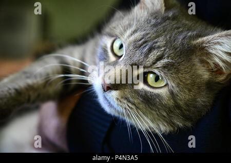 Eine junge graue Katze liegt in den Händen des Eigentümers. Die pet ist Ausruhen. - Stockfoto